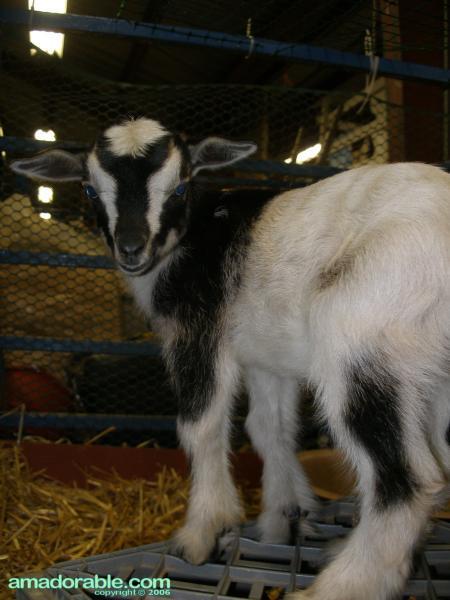 Nigerian Goat looks back