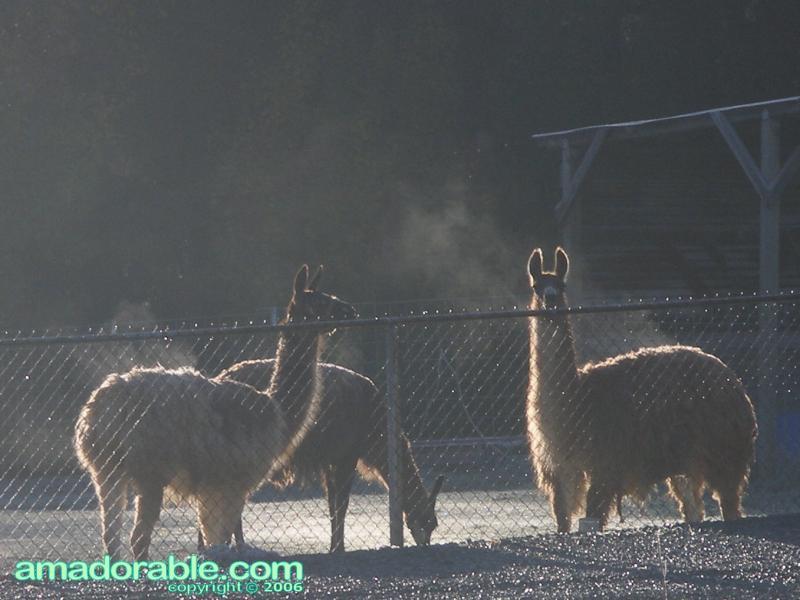Steamy Llamas (llamas-steaming-climax-road-004-cropped.jpg)